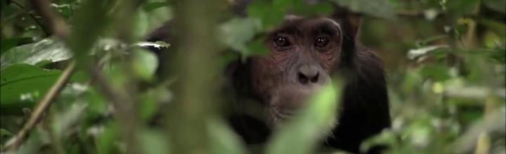 Winner Science beim Wildlife Vaasa Nature Film Festival – Das Geheimnis der Affen